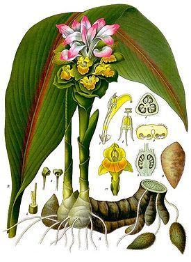 Куркума (Турмерик, Curcuma) — род однодольных травянистых растений из семейства Имбирные
